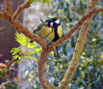 Great Tit (Parus major) [pair], 27/04/2011. A tender moment...the pair feed one another....