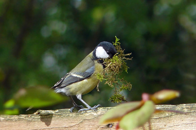 Great Tit (Parus major) [female], 12/04/2011. A particularly large beakful of moss!