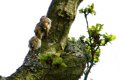 Treecreeper (Certhia familiaris) [fledglings], RSPB Minsmere, Suffolk, 13/05/2012. There were 4 possibly 5 newly fledged young birds all clinging to the bark, very high up in this tree (badly back-lit!). This group of 3 were extremely well camouflaged and being fed by both busy parents.