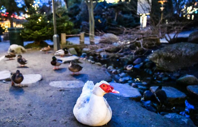 Flere juleænder - værsgo' og spies