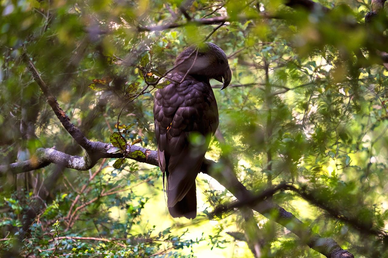 Kaka Bird :: Orokonui Ecosanctuary, Dunedin