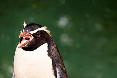 Fiordland Penguin :: Penguin Place, Dunedin