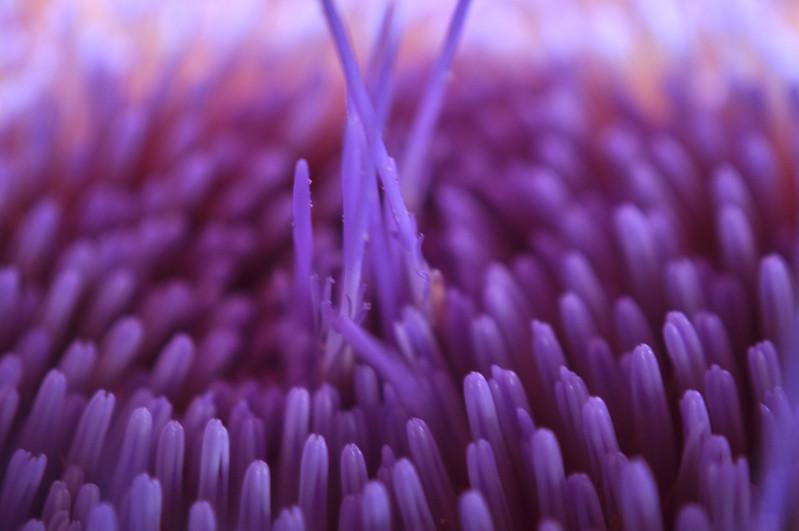 macro artichoke purple flower stamen
