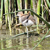 Baby avocet at Yolo Bypass