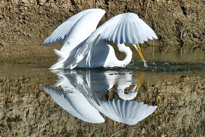 Shy egret at #Yolo Bypass