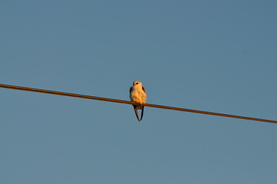 Black shouldered kite at Yolo Bypass