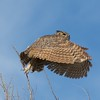 Great horned owl at Yolo Bypass