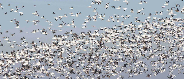 Snow geese 10^3 at Yolo Bypass