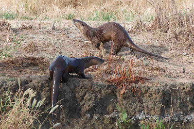 River otters at Yolo Bypass