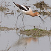 Avocet  at Yolo Bypass