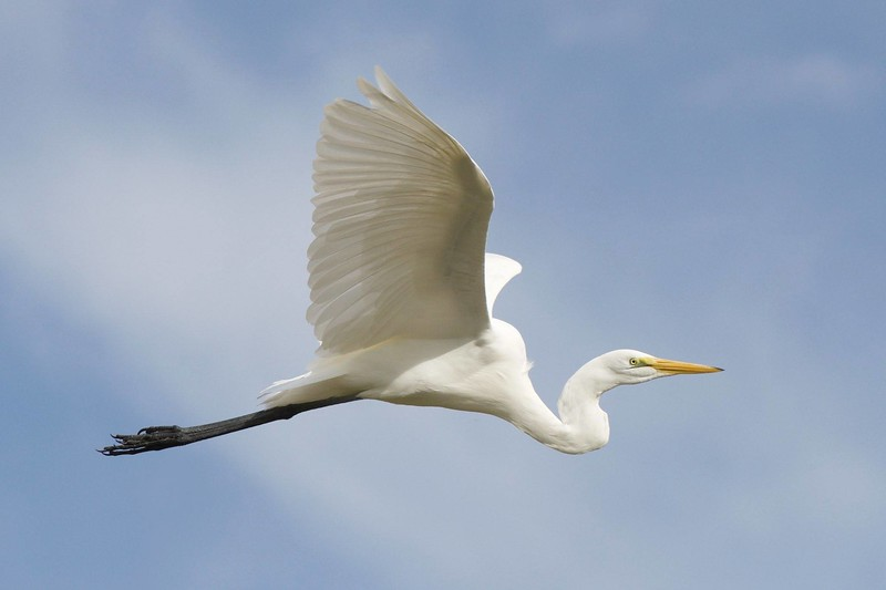 Egret at Yolo Bypass