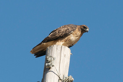 Red tailed hawk at Yolo Bypass