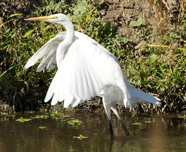 Egret take off at Yolo Bypass