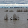 Heron in flooded Yolo Bypass with view of Sacramento
