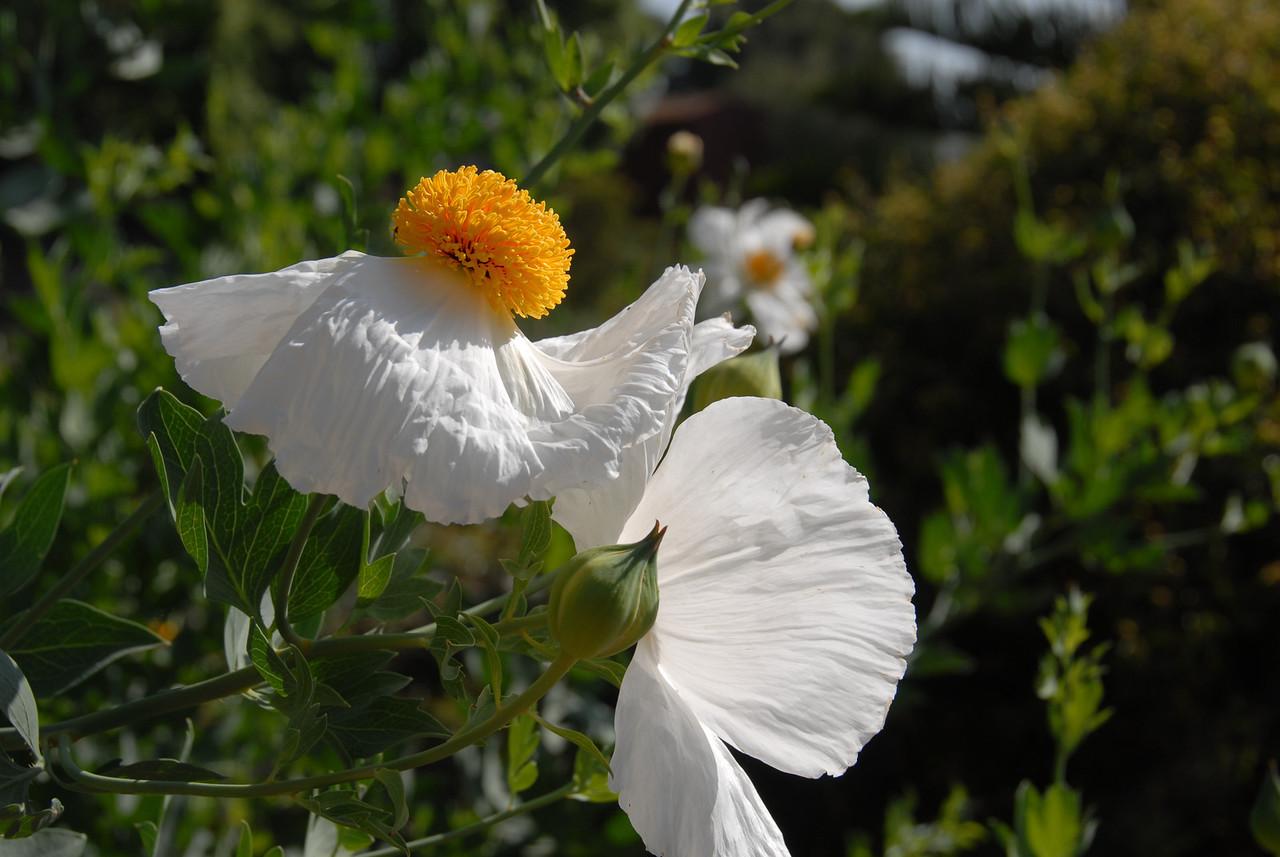 Mantilla Poppy. Spreads like wildfire,