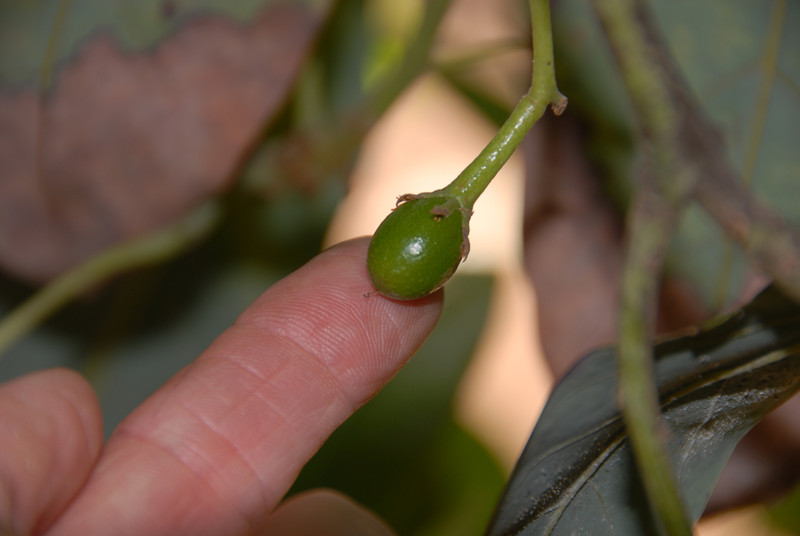 An even smaller avocado..