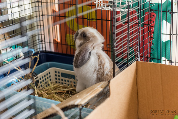 Toby - Butterfly Fawn Mini Lop Rabbit