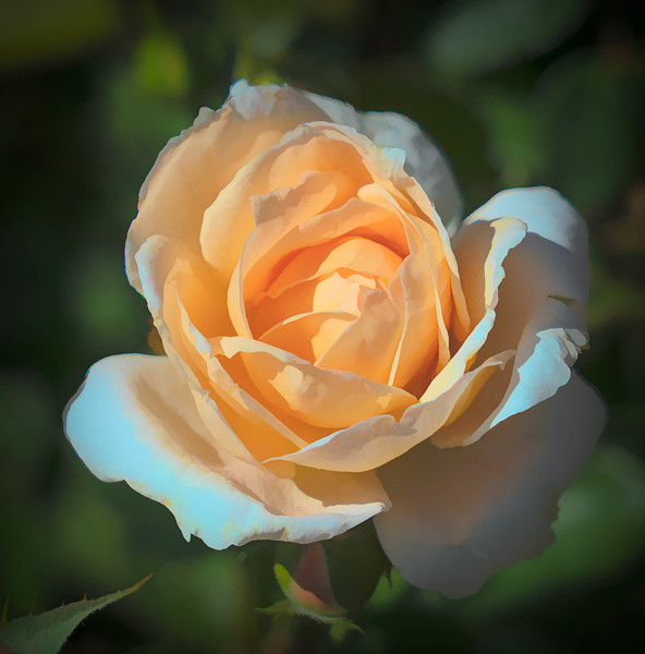 English rose, in apricot