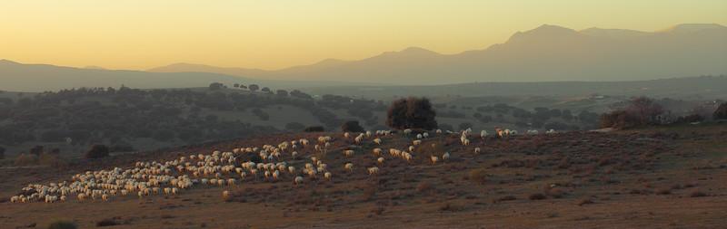 17 de Abril de 2015 - El rebaño a la tarde. ValdelosHielos. Tres Cantos