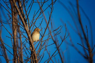 9.30.20 Beaver Lake Nursery: Savannah Sparrow.