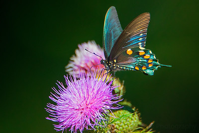 9.6.20 - Escalapia Hollow - Pipevine Swallowtail on native thistle
