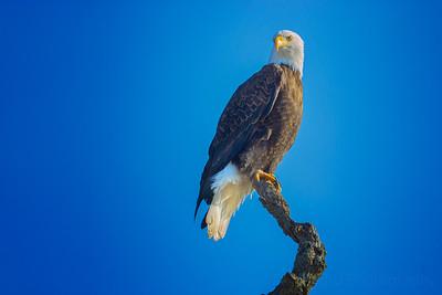 2.27.21 - Gateway: American Bald Eagle