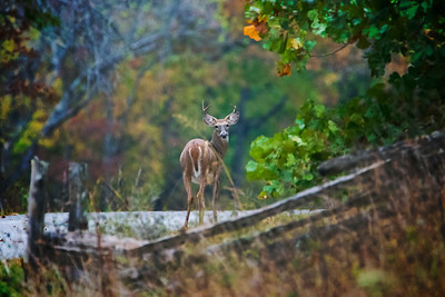 10.4.20 - Young buck at Pea Ridge Military Park this weekend.