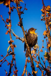 5.3.21 - Female Yellow-Headed Blackbird