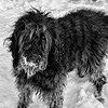 17 Jan 17We'll go with a pure black and white for today in that we have a black dog on a bed of snow. Can't get much more black and white than that. This is Margaret, our Labradoodle, or Maggie as she is affectionately known, doing what her highness considers to be one of the best things in life, playing in the snow. From her perspective, real life actually consists of playing either in the snow or on the beach, snacking, getting rubs - LOTS of them, and sleeping. Everything else is just routines. The right side of the image is not sharp as that end of the dog was moving back and forth in conjunction with the tail that wags the dog. Had she had her way this day we would have just stayed where we were and spent the daylight hours romping in the white stuff. At one point she got so excited that she ran up a snowbank that was pushed up against the retaining wall the other side of which was about a 1000 foot drop. A moment of panic on my part before I got her down off it. A repeat of last year when she went over the bank to walk on the ice that didn't hold her this time would have been a fall that would have been an end of her. Fortunately she is very sure footed and STRONG so my concerns are likely highly over rated, but the thought of what could be I can do without. And yes, I could confine her to a leash but then I would be depriving her of all the fun!!<br /> <br /> This base image was corrected for significant color casts of blue, green, and yellow, and a bit of cloning out of some a couple problem areas was done. Otherwise, this is a straight shot.  Nikon D300s; 18 - 200; Aperture Priority; ISO 200; 1/30 sec @ f /10.
