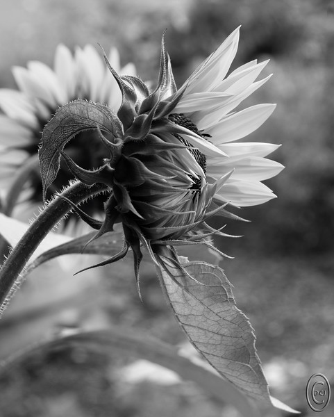17 Aug 18	A bit of a variation today in that I believe this is the first time I've shared a B&W macro/close-up. On our drive to Brinnon earlier in the week we passed by a community garden in Quilicene that had as a part of it a section of sunflowers that are not replanted by the community but rather are reseeded naturally. There was a fairly large section of them considering the size of the garden and we stopped on the return leg to shoot for a few minutes. I got a number of images I liked and this one in particular. Of the 6 versions I made, this is my favorite with the straight color being a very close second. What's a bit unusual is that both a good friend from VA who has been with us this week and Jan both picked this version over all the other 5 so this one gets three thumbs up. Not much more to say about it as it is just a shot of a flower in a garden, and one without some kind of insect involved on top of that.<br /> <br /> This is straight from the camera save for some cropping off the top and bottom of material that added nothing. Shining Bright  Nikon D500; 18 - 200; Aperture Priority; ISO 250; 1/320 sec @ f / 9.