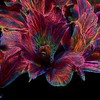 24 Mar 17	One more of the creative flowers but this time in bright colors. This is from a bouquet that we had sitting on the dining room table and which after having taken a number of shots I was planning on placing on the scanner to grab a three dimensional image which I was than going to manipulate, a process I've wanted to do for some time but am just getting around to doing. Or at least that was the plan. By the time I got around to trying it the blossoms were too old to handle and each one I touched simply fell apart. So I have to get some more before attempting. Meanwhile, I did have the shots from the camera so I thought I'd play with one to see what I might come up with. This is one I liked; well, one example anyway. I used the same technique as before with the two previously shared shots but this time did some additional work after playing with the plug-in filter. The diagonal formed by the flowers supposedly gives the image some sense of action, or so photo critiques claim, so we'll just consider this an example of flora in motion. Or, for those of you in my age bracket, something you might have envisioned at one of the best forgotten parties. Or maybe just something that would look nice displayed on a shiny surface.<br /> <br /> I painted out some of the stuff I didn't like, cropped what remained some, and then ran a Topaz plug-in on it. Nikon D300s; 18 - 200;  Aperture Priority; ISO 200; 1 sec @ f /13 on a tripod.