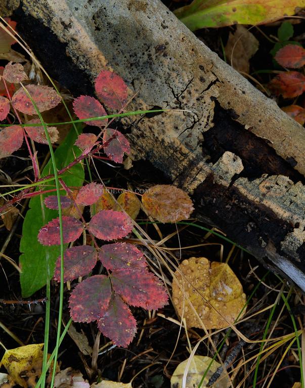 Autumn Leaves near Cuchara