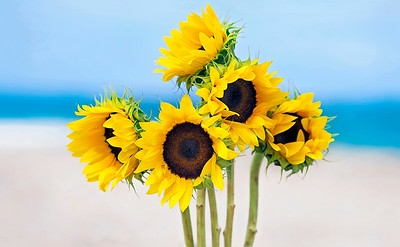 DSC00421 David Scarola Photography, Sunflowers in the Sea, Dec 218