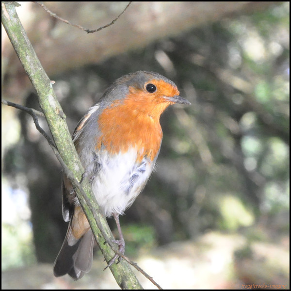 Lots of birds flying around in the grounds, this wee Robin and his pal were playing chase.