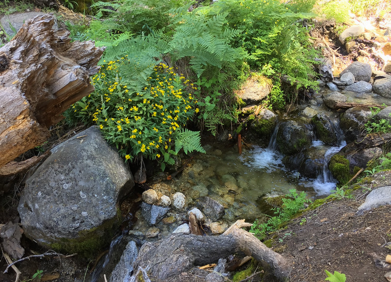 Arnica lanceolata (clasping arnica) - Sequoia NP: Tokopah Falls Marble Fork of the Kaweah River with Chris and Mary