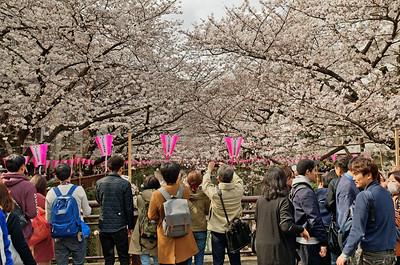 Cherry Blossom at Nakameguro