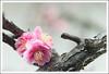 A plum blossom at Ryuunji