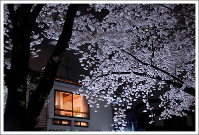 Cherry blossoms at night. This was taken on the covered river walkway near our house.