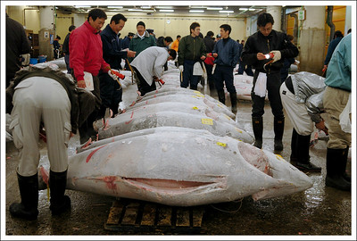 The largest of the frozen tuna for sale at Tukiji fish market.