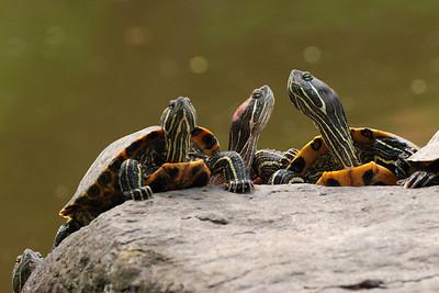 Turtles in Arisugawa Park