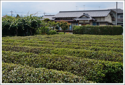 Tea fields along the way back to the station.