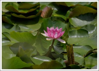 Fukiage Iris Gardens