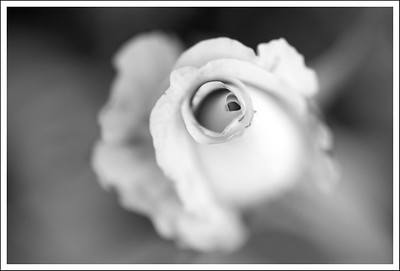 A white rose done in B&W