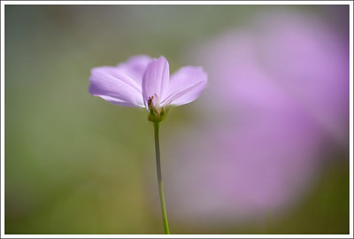 Cosmos are one of my favorite flowers, so I was happy to see many of them in bloom.