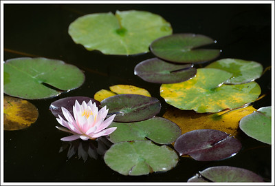 There were an abundance of water lilies.  Unfortunatley, the lotuses were finished.