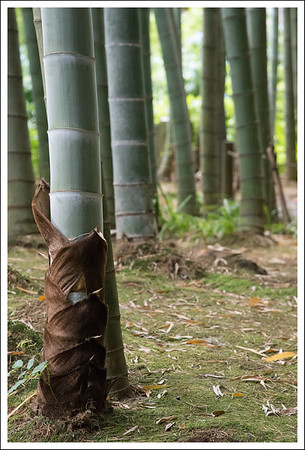 This year's bamboo.