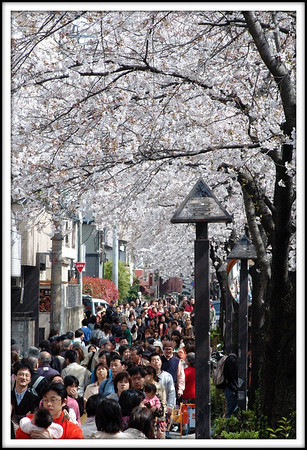 Crowds at cherry blossom time. This is along the Meguro river near Ikejiri.