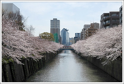 Meguro River at Cherry blossom time.  This is a 10 minute bicycle ride away.