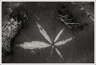An old leaf imprint on a log stepping stone.
