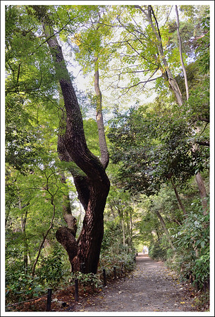 An old tree that was probably original to the garden.  (About 300 years old.)